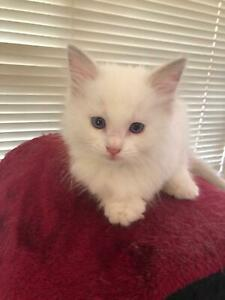 Ragdoll Pedigree Kitten-Lilac Bicolour