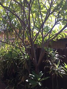 Plants for Sale large and small Willetton Canning Area Preview