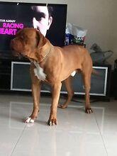French Mastiff for sale Craigieburn Hume Area Preview