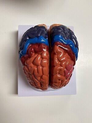 1pcs 2-part Anatomical Regional Human Brain Anatomy Model
