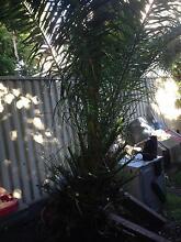 Canary Island palm tree Rockdale Rockdale Area Preview