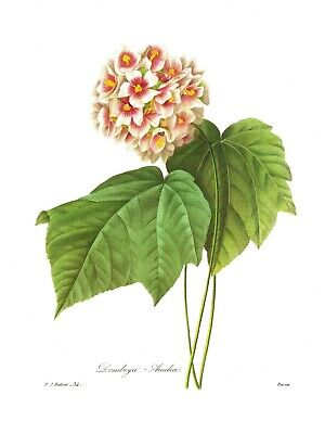 Lovely Antique Pink Hydrangea Print Redoute Botanical Flower Art Print pjr #3111