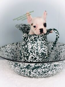 CKC Registered French Bulldogs READY TO GO