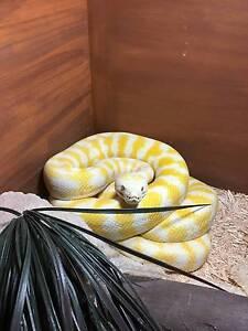 Albino Darwin Carpet Python - Male 6 yrs & Enclosure Toowoomba Toowoomba City Preview