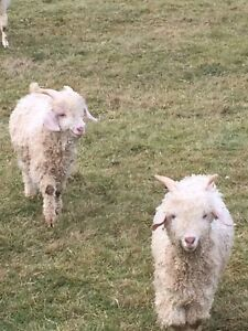 Registered Angora Billies