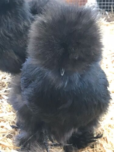 "8  Bearded Silkie Hatching Eggs Assorted Colors  from color separate pen ""NPIP"""