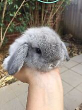 I have one silver color mini lops baby rabbit for sale,7 weeks Denistone East Ryde Area Preview