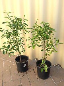 Kalamansi / Calamondin Plant Gosnells Gosnells Area Preview