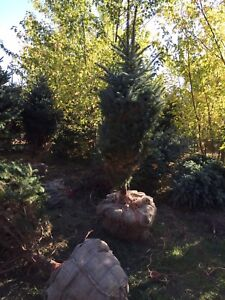Blue Spruce, White Spruce, Red Maples and More!!