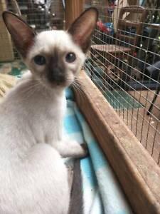 Siamese Kitten  - ABSOLUTELY GORGEOUS