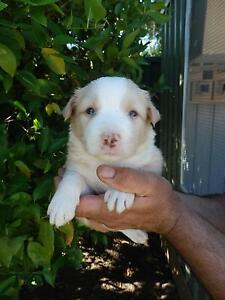 Pure Bred Border Collie Pups Girraween Parramatta Area Preview