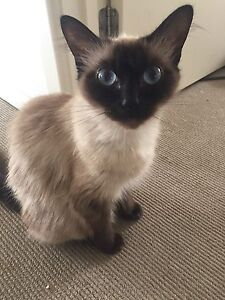 Seal point ragdoll cat Warragul Baw Baw Area Preview