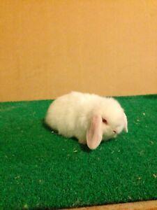Baby Miniature lop Bunnies