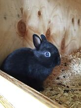 Purebred Netherland Dwarf Baby Rabbits Parkdale Kingston Area Preview
