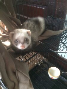 Female ferret with cage