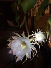 Queen of the Night. Night Blooming cactus. Blooms for a 1 night only Bull Creek Melville Area Preview