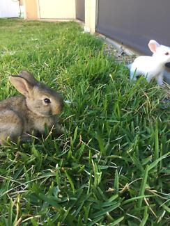 5 Week Old Bunnies - White New Zeland and Sliver Fox Mix