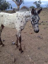 Appaloosa x Friesian colt Yetman Inverell Area Preview