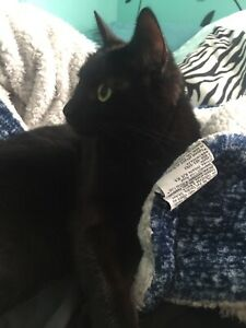 Black Fixed + Declawed Cat