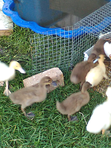 Yellow Pekin Ducklings, 3 weeks old. $25 each. Clyde Casey Area Preview