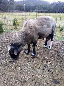 Ram free to good home Dyers Crossing Greater Taree Area Preview