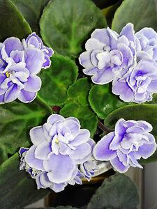 Saintpaulia, african violet, indoor house plant ESKIMO KISSES