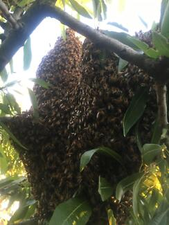 Bee swarm in box for sale