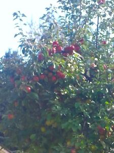 FREE - APPLES YOU PICK TODAY ONLY.