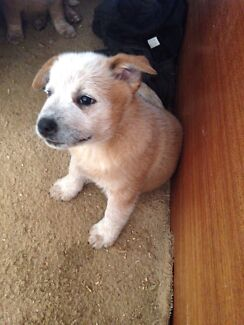 Red Heeler Puppies registered  Trafalgar South Baw Baw Area Preview