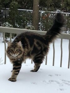Maine Coon small