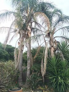 PALM TREES -SYAGRUS ROMANZOFFIANA – COCO PALM Berwick Casey Area Preview