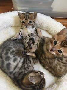 Bengal Kittens - Registered with Pedigree Penrith Penrith Area Preview