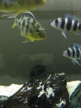 Cichlids sell or swap Aberglasslyn Maitland Area Preview