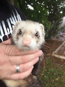 Male ferret Shoalwater Rockingham Area Preview