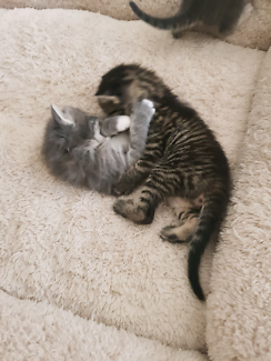 Wanted: Cat's for sale 10 weeks old 2 F 2 M $120