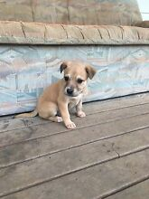 Puppies for sale Canowindra Cabonne Area Preview