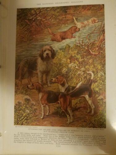 EH Miner HARRIER & OTTERHOUND DOGS bookplate 1937 National Geographic Magazine