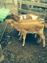 JERSEY HEIFERS Cressy Colac-Otway Area Preview