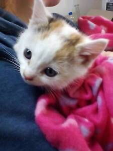 Beautiful kitten needs loving home High Wycombe Kalamunda Area Preview