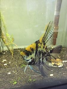 1.5 years old male angel fish for adoption! Plus other fishes Kingsford Eastern Suburbs Preview