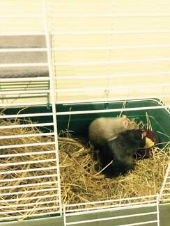 Two Male Pet Rats for Adoption! Armidale City Preview