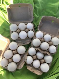 Duck Eggs $3 half dozen