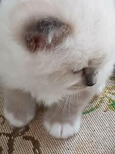 Blue Birman Boy and Girl Kitten - Canberra Region Murrumbateman Yass Valley Preview