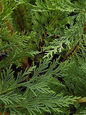 10 Green Leylandii 2L Pot Evergreen Hedging Conifers Shrubs Plants 60-80cm 2ft
