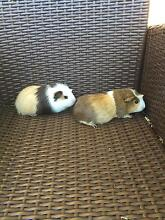 4 months old female guinea pigs West Ryde Ryde Area Preview