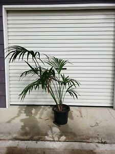 Small Kentia Palm Indoor Plant