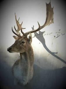 Taxidermy Fallow deer Wall pedestal mount