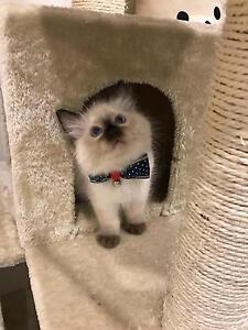 Purebred Ragdoll kitten available now to good home~ Petersham Marrickville Area Preview