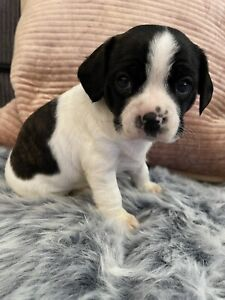 Boston Terrier x King Charles Cavaliers (free delivery to Sydney)