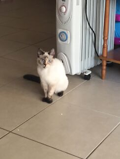 Rag doll cross female kitten Kippa-ring Redcliffe Area Preview